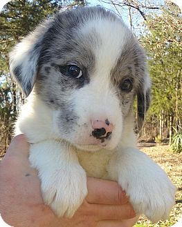 Southington Ct Great Pyrenees Australian Shepherd Mix Meet Hunter A Puppy For Adoption Puppy Adoption Great Pyrenees Puppies