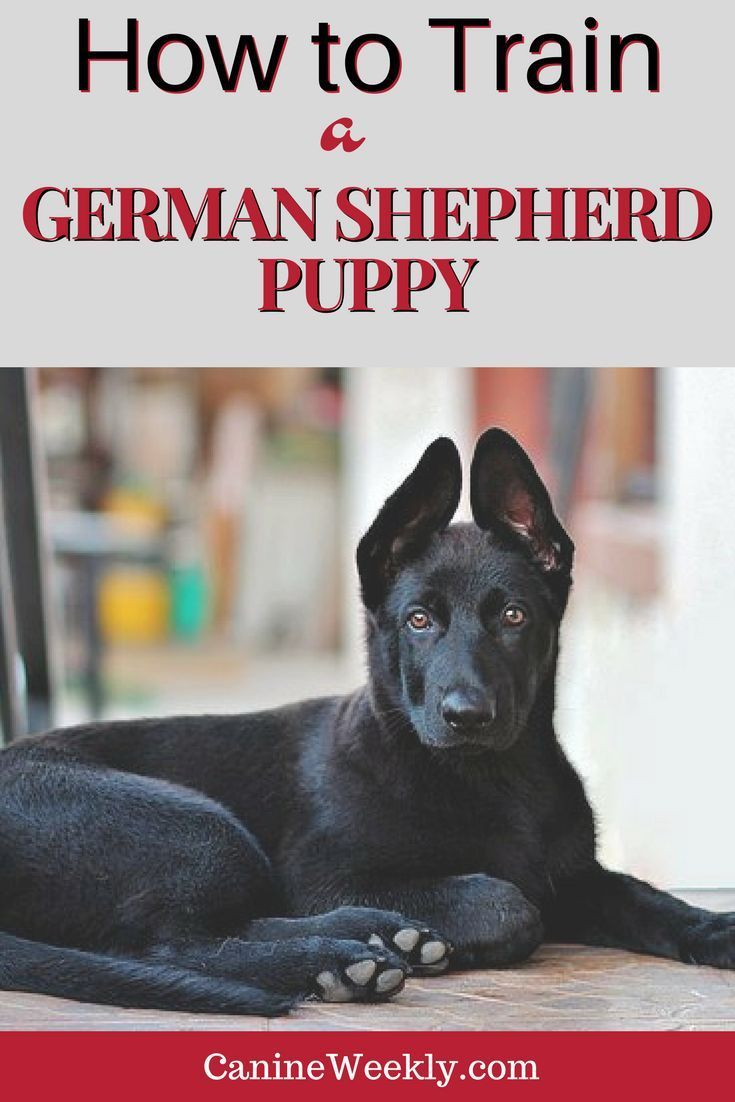 How To Train A German Shepherd Puppy Tips For Dog Owners