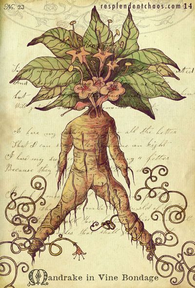 It Wasn T Until The Middle Ages That Mandrake Became Popular As A