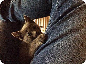 Russian Blue Kitten for adoption in Houston, Texas