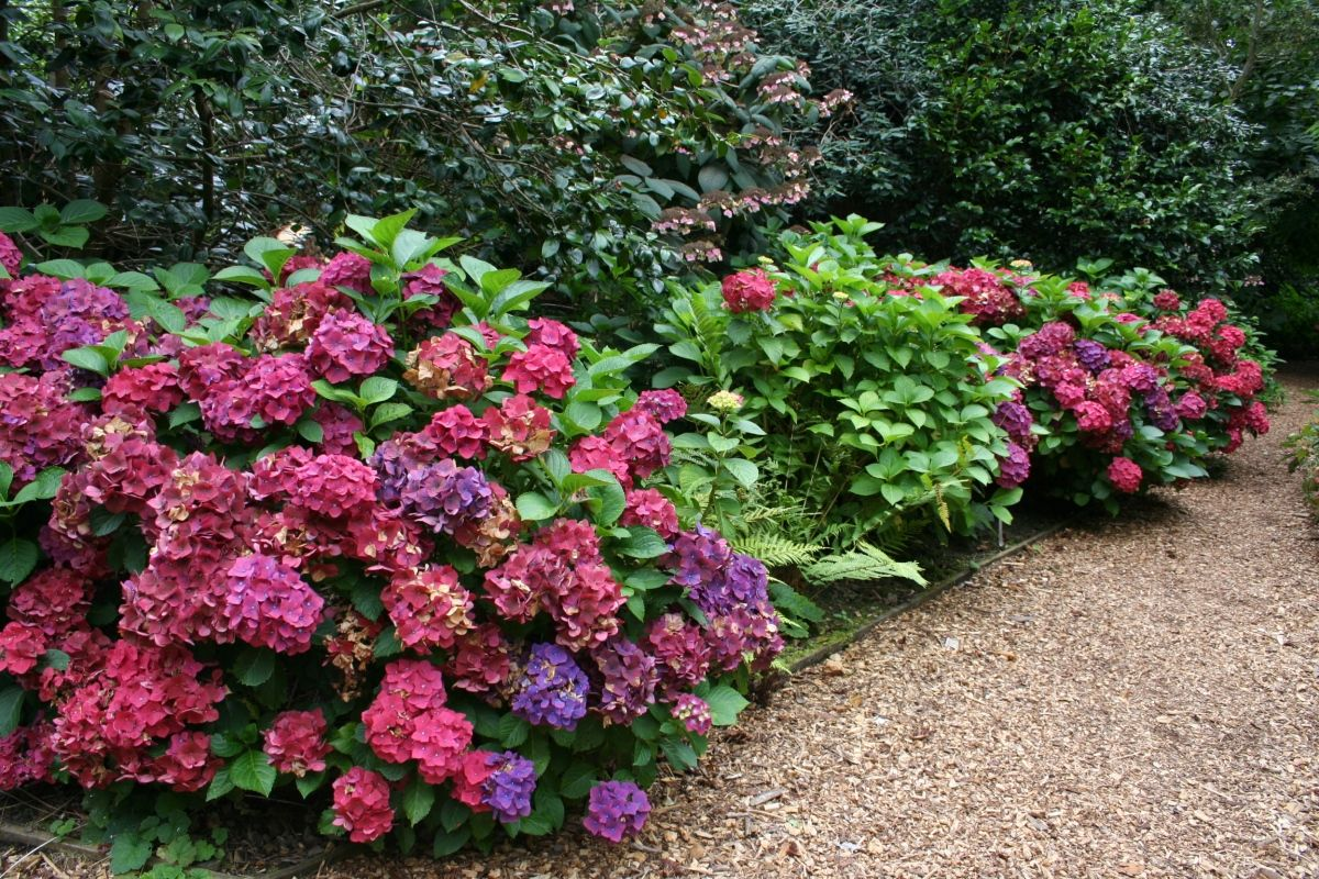 Hydrangea plants medium shrubs shrubs planting for Garden design ideas for medium gardens