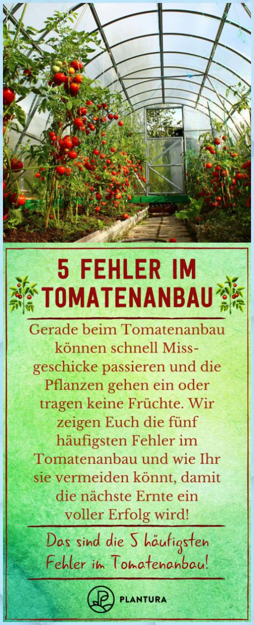 Was Sind Die Grossten Fehler Beim Tomaten Anpf Garten Pflanzen Was Sind Die Grossten Fehler Beim Tomaten Anpf Gart In 2020 Tomatenanbau Tomaten Pflanzen Tomaten
