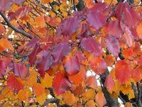 Durante el otoño, el color del follaje de algunas especies empieza a mutar cuando todavía están en flor, componiendo en el jardín estampas especialmente bonitas.
