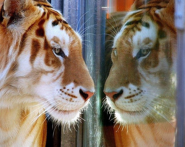 Tiger and mirror - Tiger Pictures