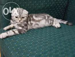 Scottish Fold Cat Male Cat Scottish Fold Pets For Sale Animal Lover