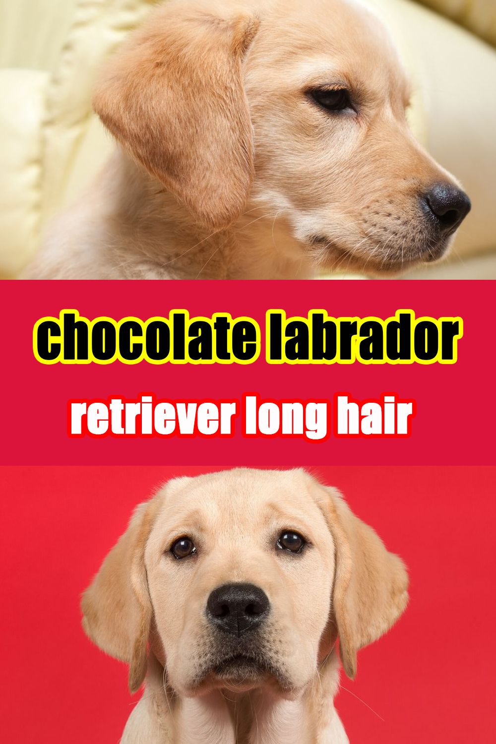 Do Labradors Come In Long Hair Dogs Water Dog Rare Dogs