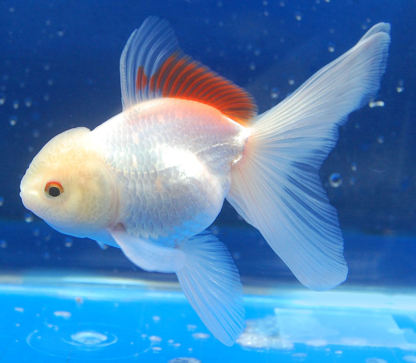 White Oranda Goldfish Pets Aquariums Tank Peixes Ornamentais Kinguio Peixes