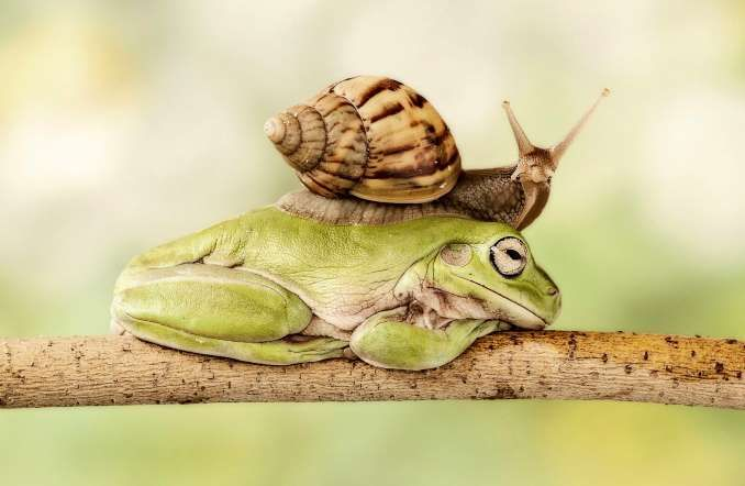 The snail slides over the sleeping frog's back. - Lessy Sebastian/Solent News/Rex Features