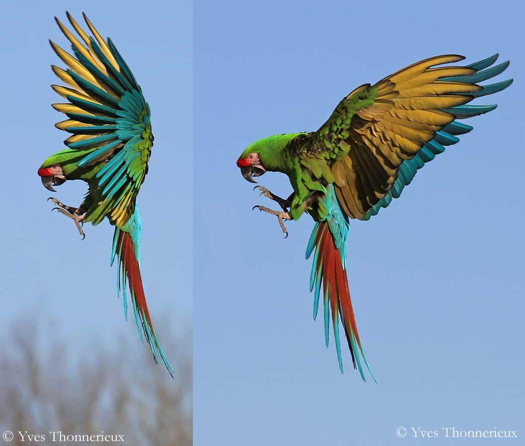 Diff rentes esp ces de perroquet design graphic pinterest perroquets perruches et - Differentes especes de pins ...