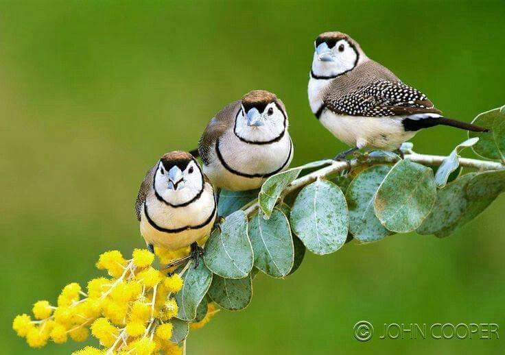 Double barred Finch, Photo by John Cooper