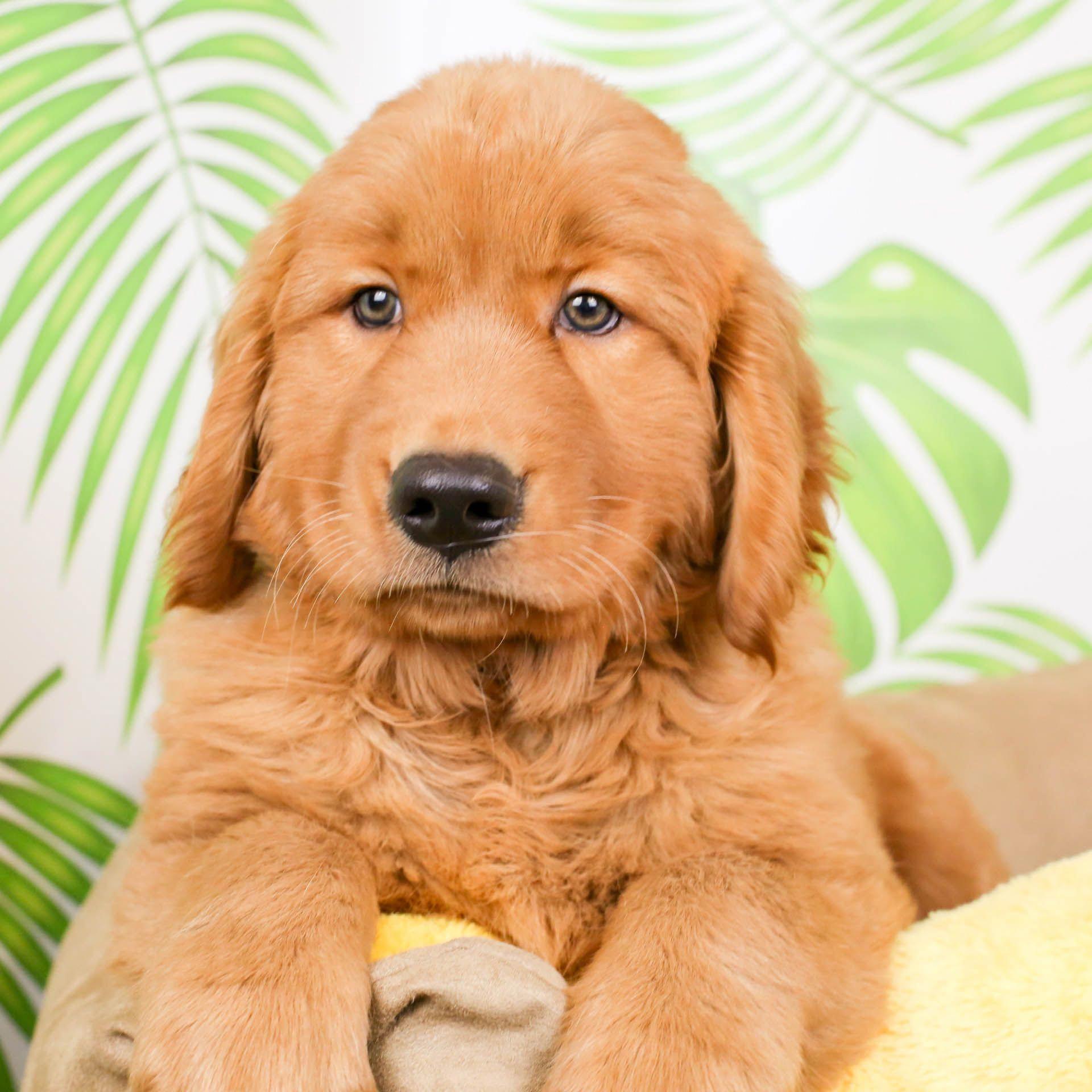 Golden Retriever Puppies For Sale Near Me 2020