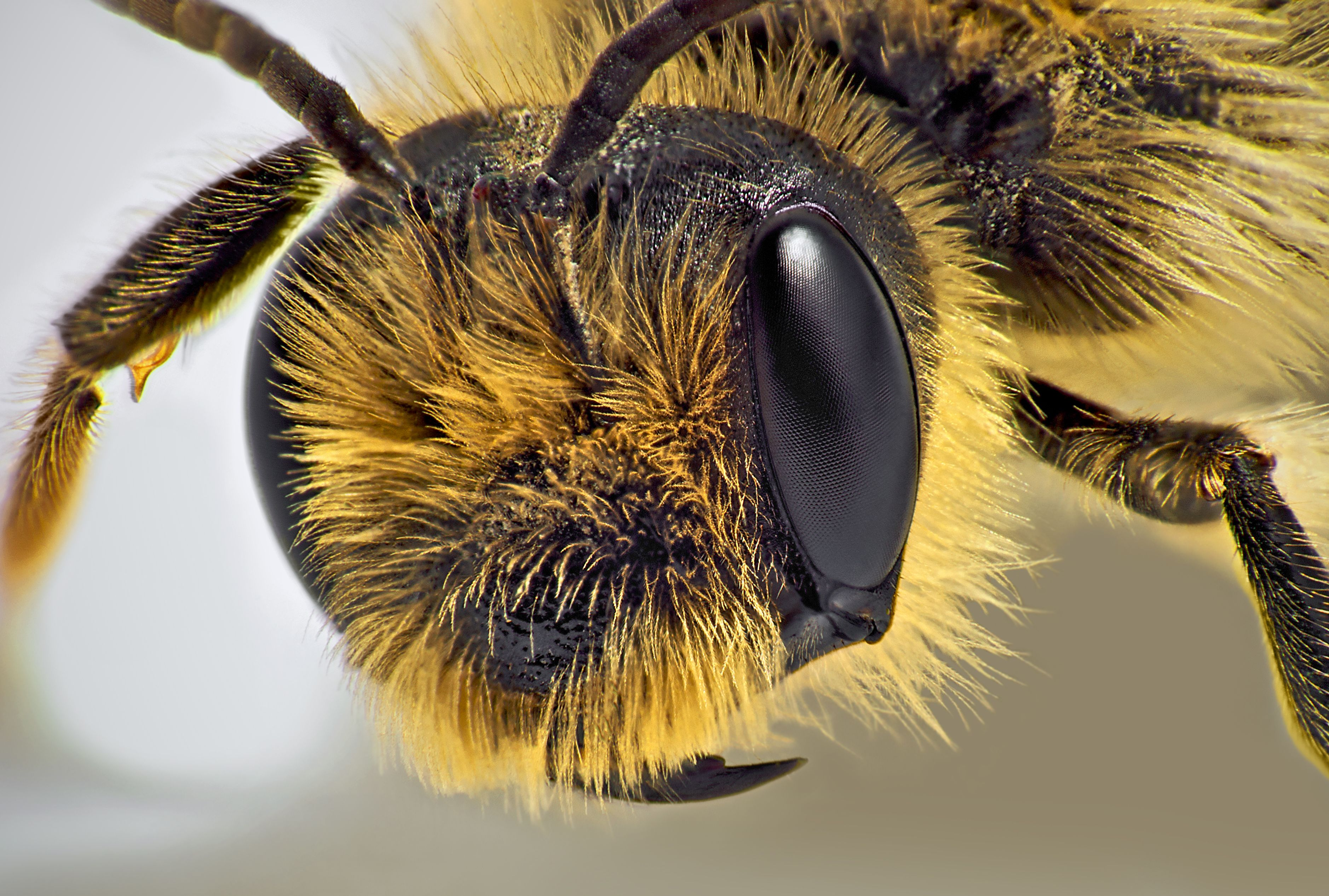 Bee closeup   Sound Bites   Bee, Insects, Bee keeping