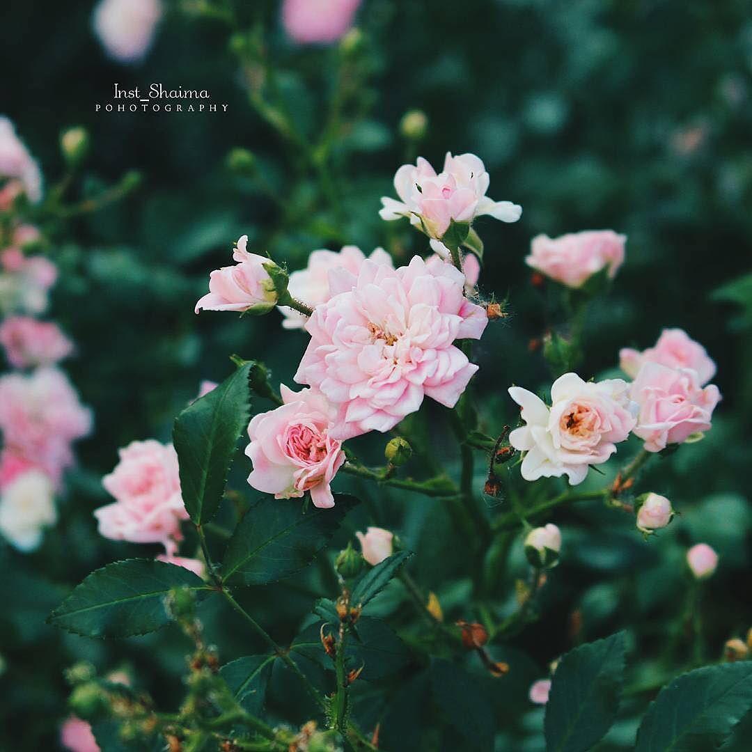 أنت تشبهين كل ما يلمس الروح الورد واللوحات مزيج من الموسيقى و القصائد رائحة المطر و الشوارع المهجورة ㅤ ㅤ ㅤ By Inst Shaima ㅤ Chosen By Flowers Rose Plants