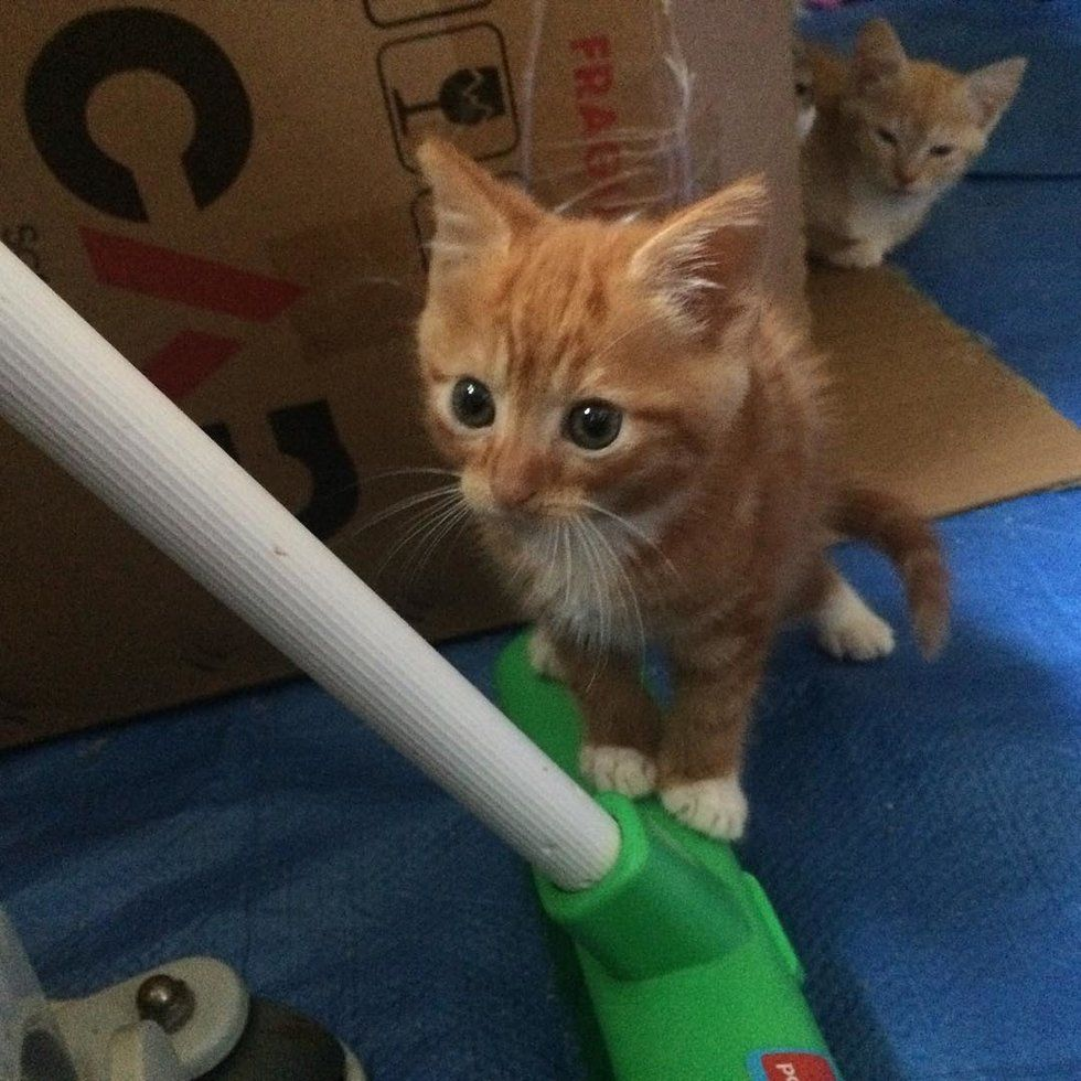 A Little Ginger Kitten Came To His Foster Home Along With His Sister From The Same Litter But He Was Much Smaller Meet Widdl Happy Kitten Kitten Ginger Kitten