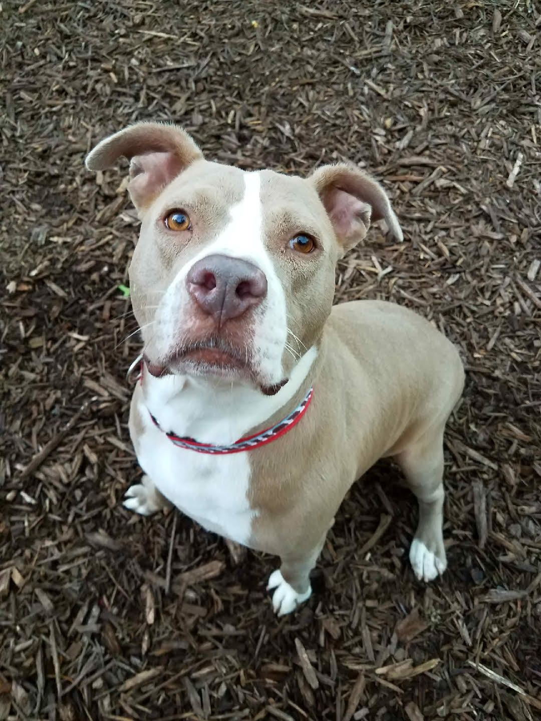 Adopt Phoebe On Pitbull Terrier Pitbulls Terrier