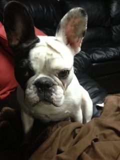 Lucie The French Bulldog From Edgewater Nj French Bulldog Cute