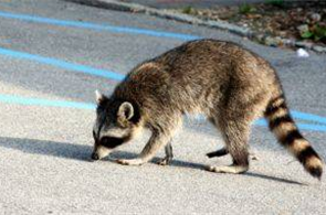 How to Keep Raccoons Out of Bird Feeders Animals images