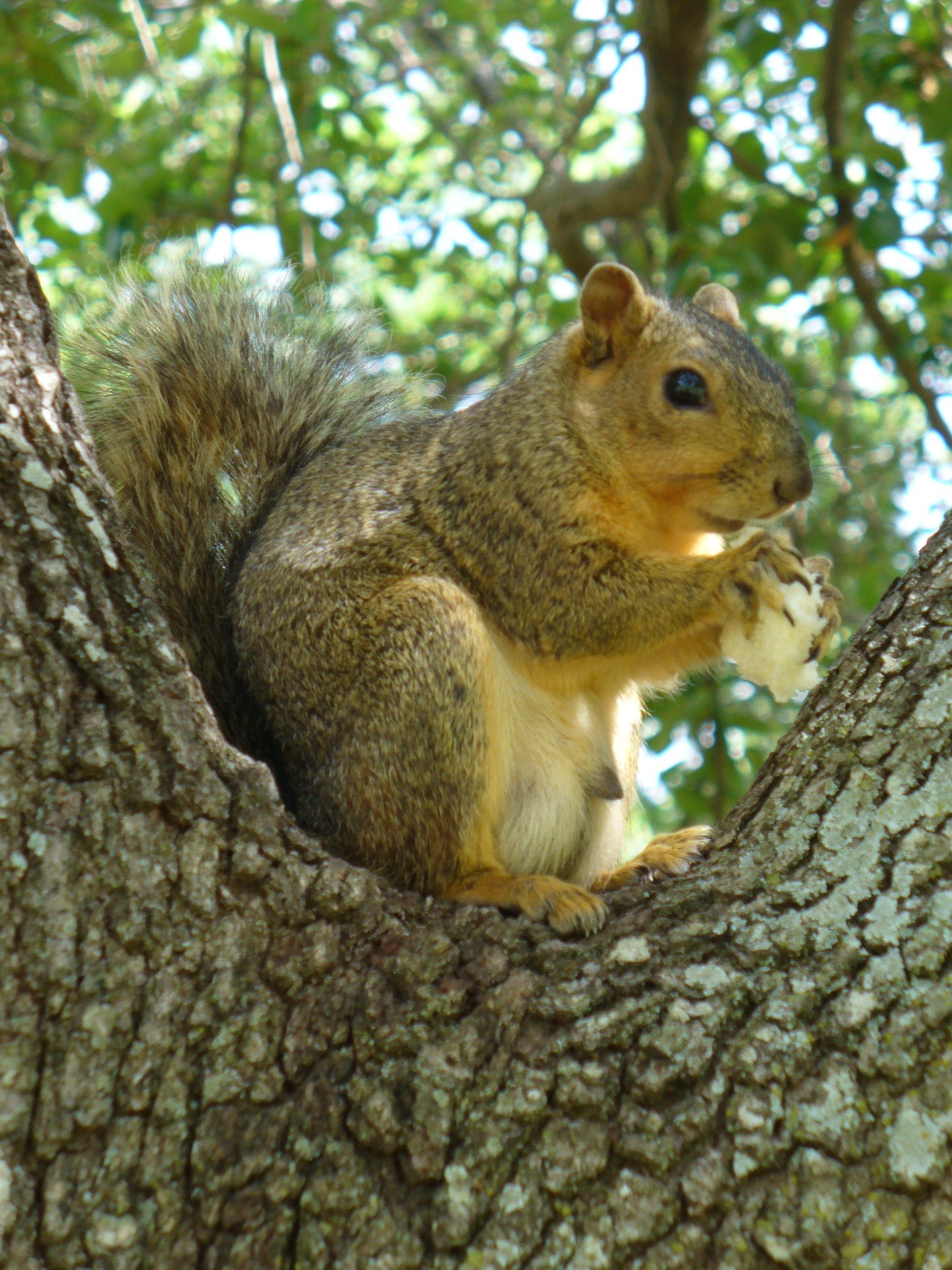 Squirrel, sitting in a tree, in Austin, Texas Squirrel