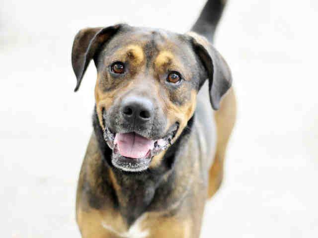 Boxador dog for Adoption in Tavares, FL. ADN-450224 on PuppyFinder.com Gender: Male. Age: Adult