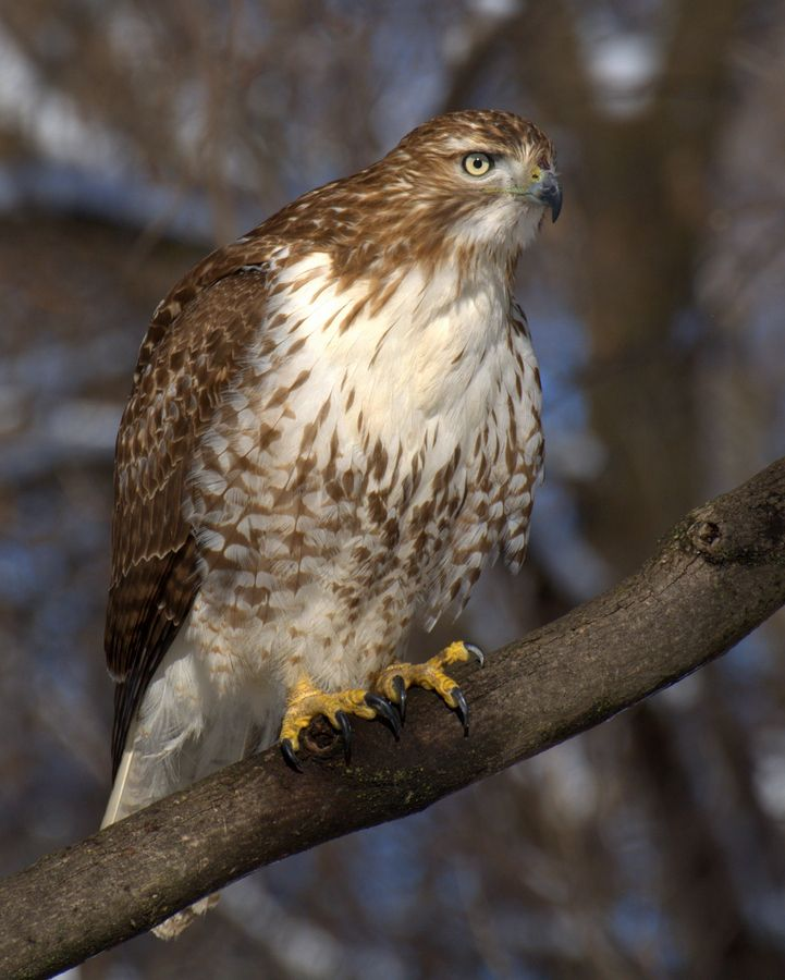 What Types Of Wild Birds Are Visiting My Backyard: Red-Tailed Hawk. Living In My Backyard. He's A Little