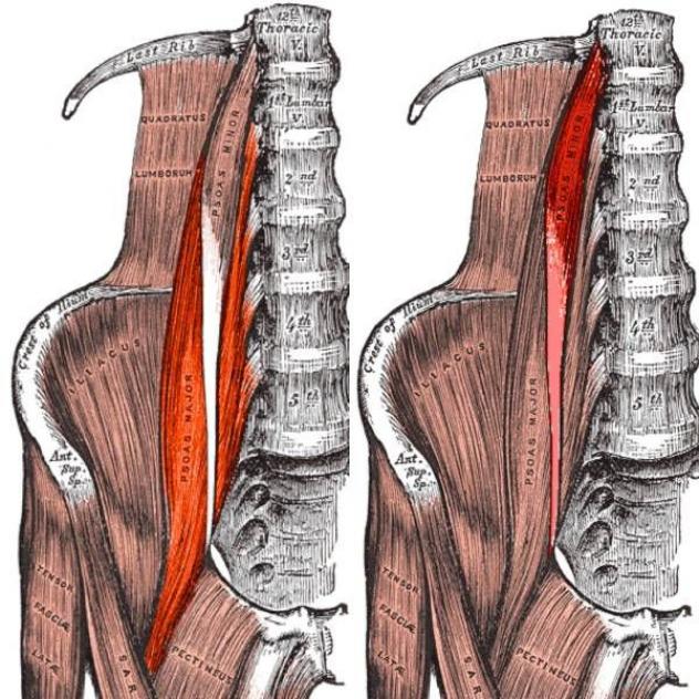 Psoas Iliopsoas Anatomy For Athletes Hip Flexors Hip Flexor Muscles Hipflexor In 2020 Hip Flexor Hip Flexor Stretch Psoas Release