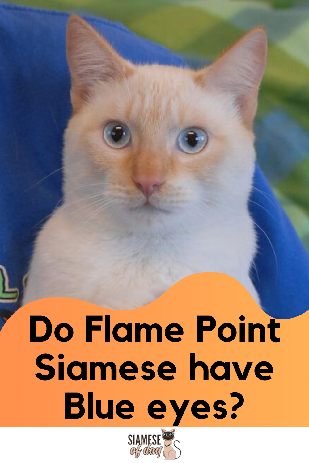 Red Flame Point Siamese Cats Siamese Of Day In 2020 Siamese Siamese Cats Blue Eyes