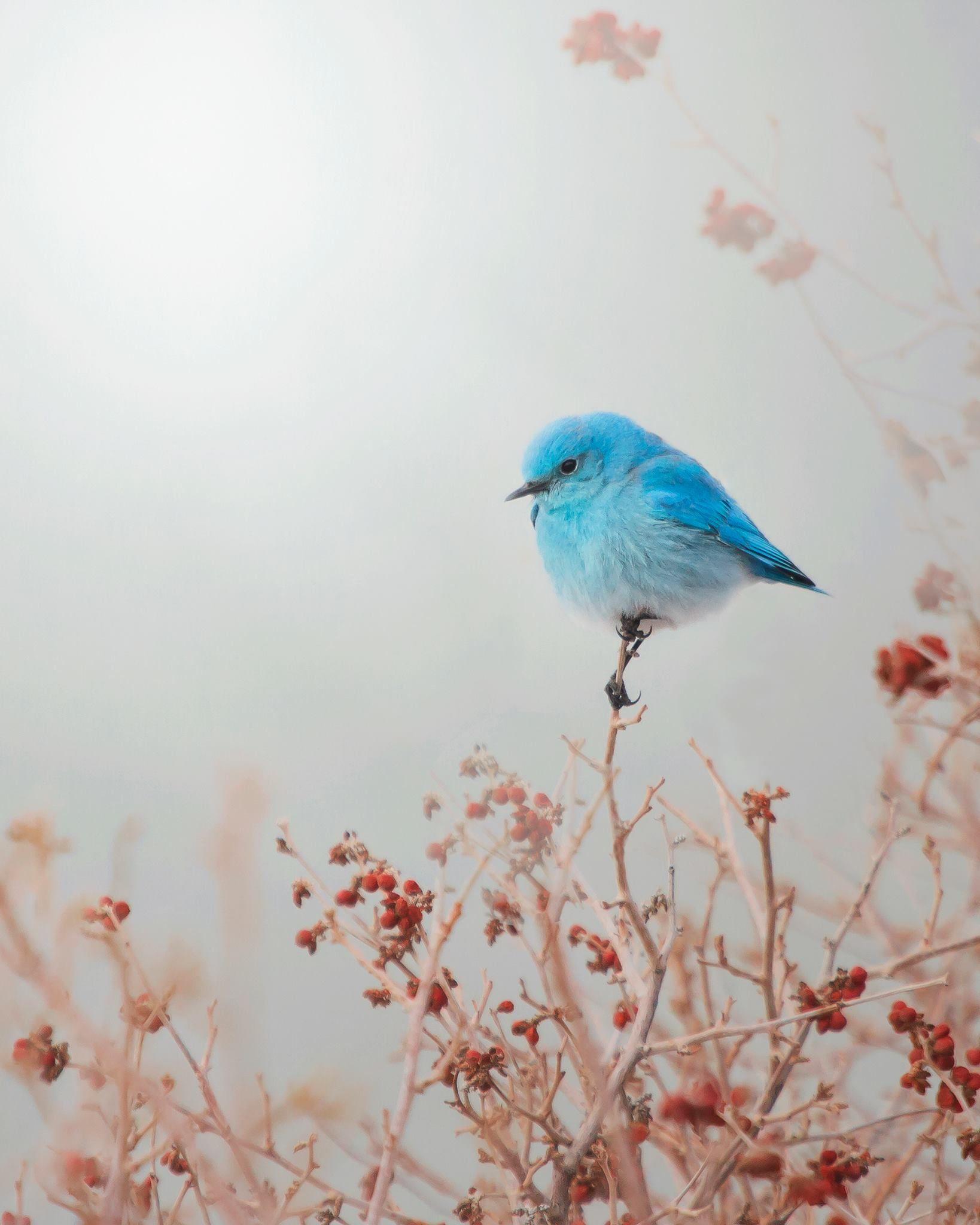 Bluebirds Quotes Birds Birds Beautiful Birds Animals