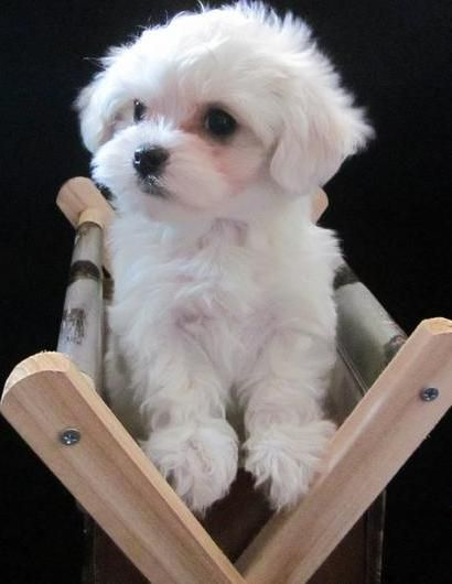 Maltese Puppy Maltese Dogs Cute Cats Dogs Dogs