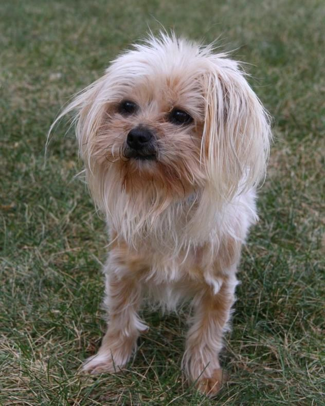 Adopt Mork on (With images) Terrier mix dogs, Dogs