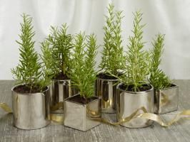Rosemary Christmas Trees : Make an inexpensive, fragrant and long-lasting centerpiece with rosemary plants that resemble mini Christmas trees. Repot young plants from your local nursery in elegant containers and your guests can take them home at the end of the evening as parting gifts.