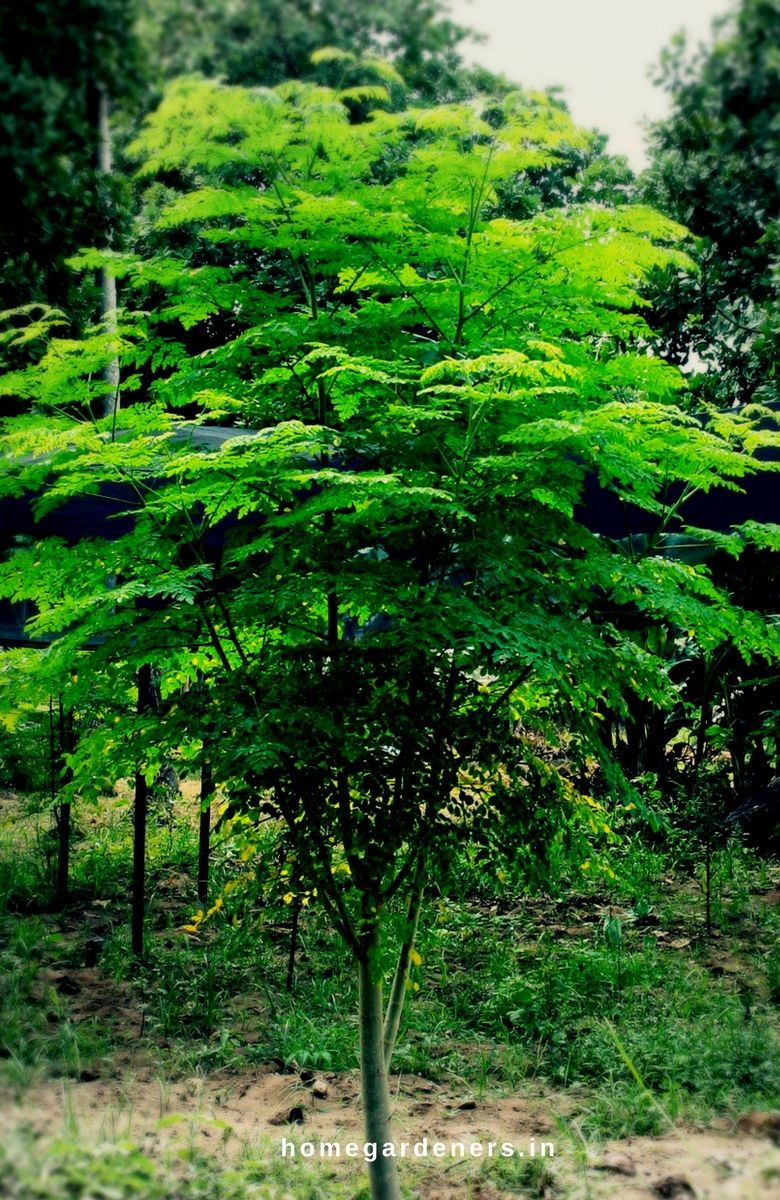 Moringa Tree Growing, Caring & Health Benefits for the