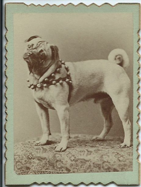 C 1890s Small Photo Of Pug Wearing A Harness With Bells On It