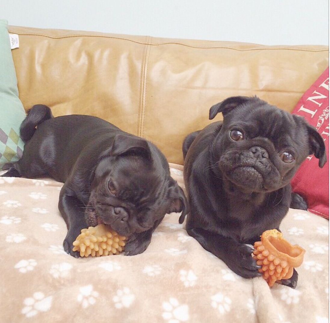 Its Buzz And Nala Chinese Pug Black Pug Pugs