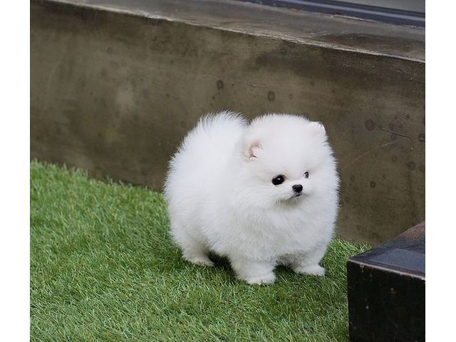 Pin By Artemis On Dogs Is My Favourite Pomeranian Puppy Teacup Pomeranian Puppy Pomeranian Puppy For Sale