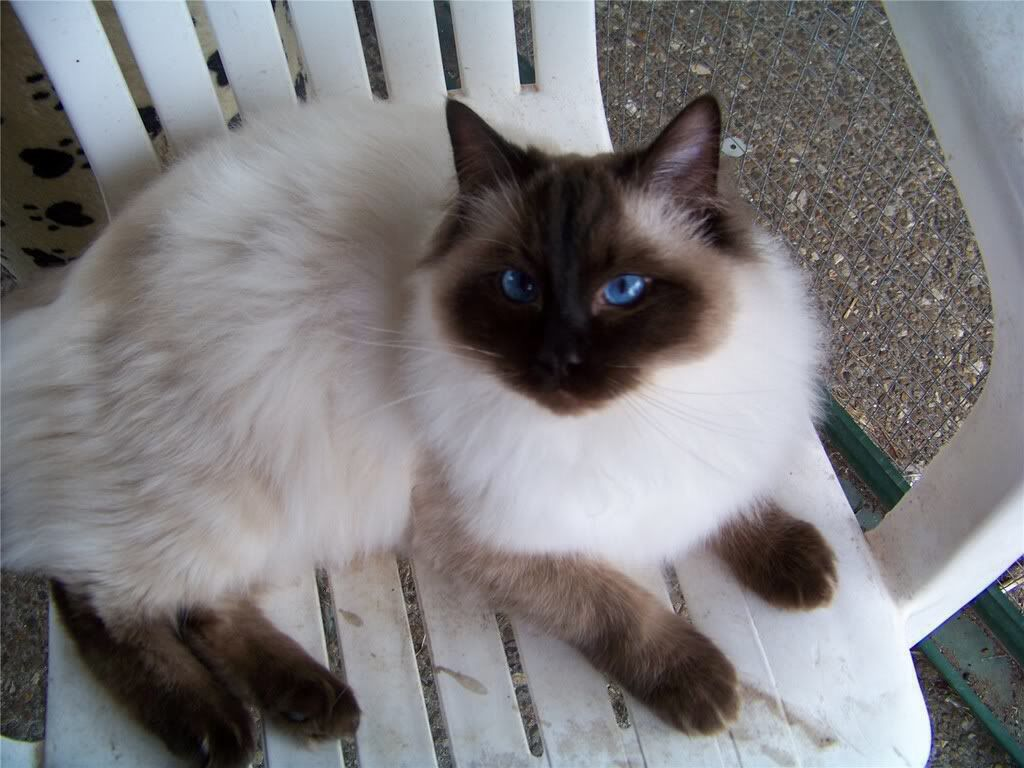 A beautiful Sealpoint Colorpoint adult Ragdoll cat. Ragdolls are ...