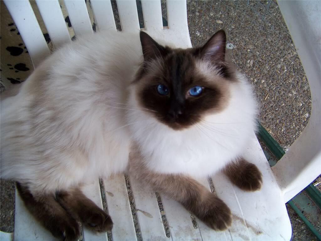 A beautiful Sealpoint Colorpoint adult Ragdoll cat. Ragdolls are ...