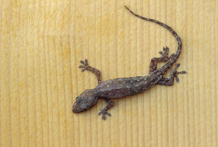 Common House Geckos Gecko Lizard Reptile House