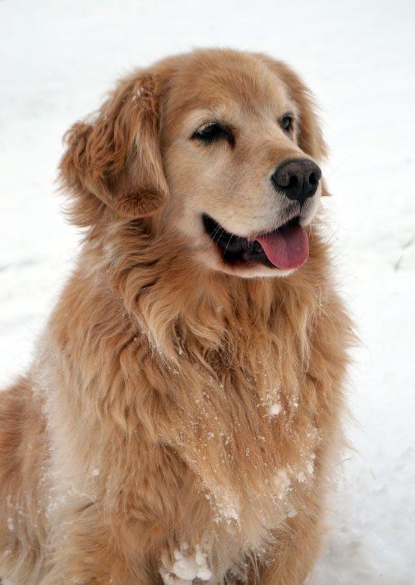 Beautiful Golden Girl London Golden Retriever Retriever Puppy