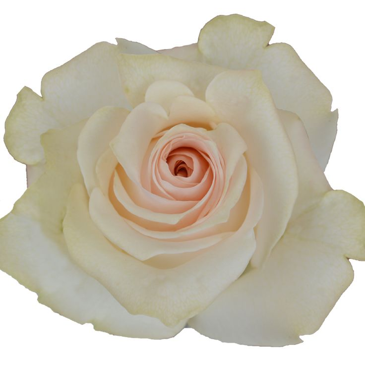 Wholesale Flowers For Weddings Events: Rose 'Whisper'. Available In 50cm To 70cm Lengths