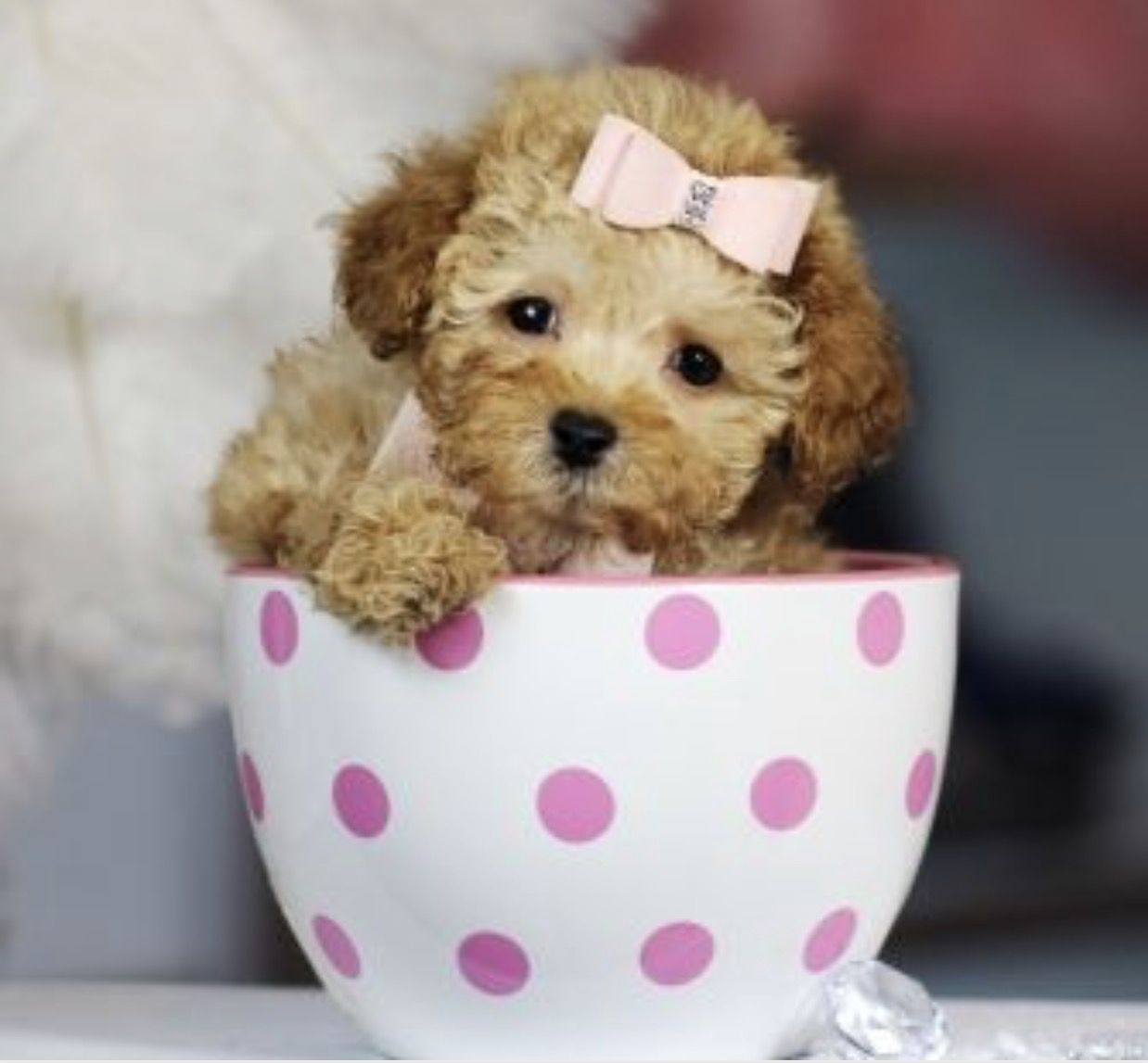 Teacup Poodle Puppies Image By Carrie Montgomery On Cool Teacup