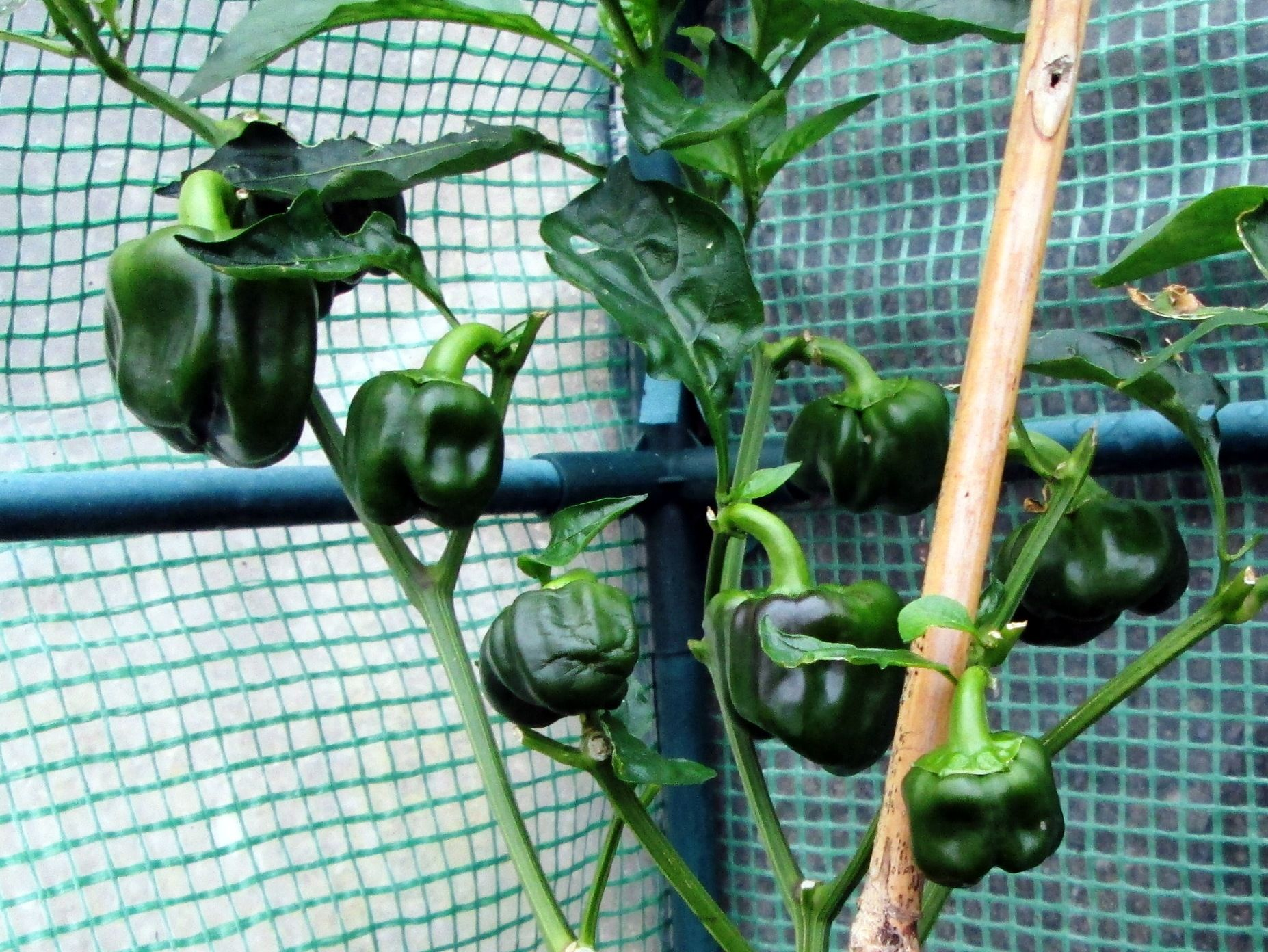 How to Grow Sweet Bell Peppers in Pots and Containers ...