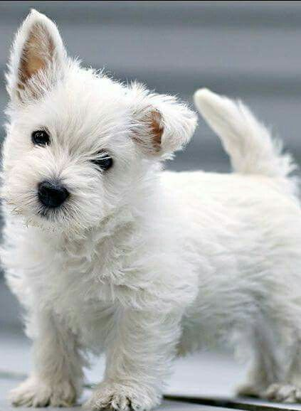 Whatacutie Westie Puppies Westie Dogs Cute Dogs