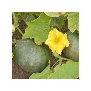 Semer et planter les cucurbitacées : courges, potirons ...