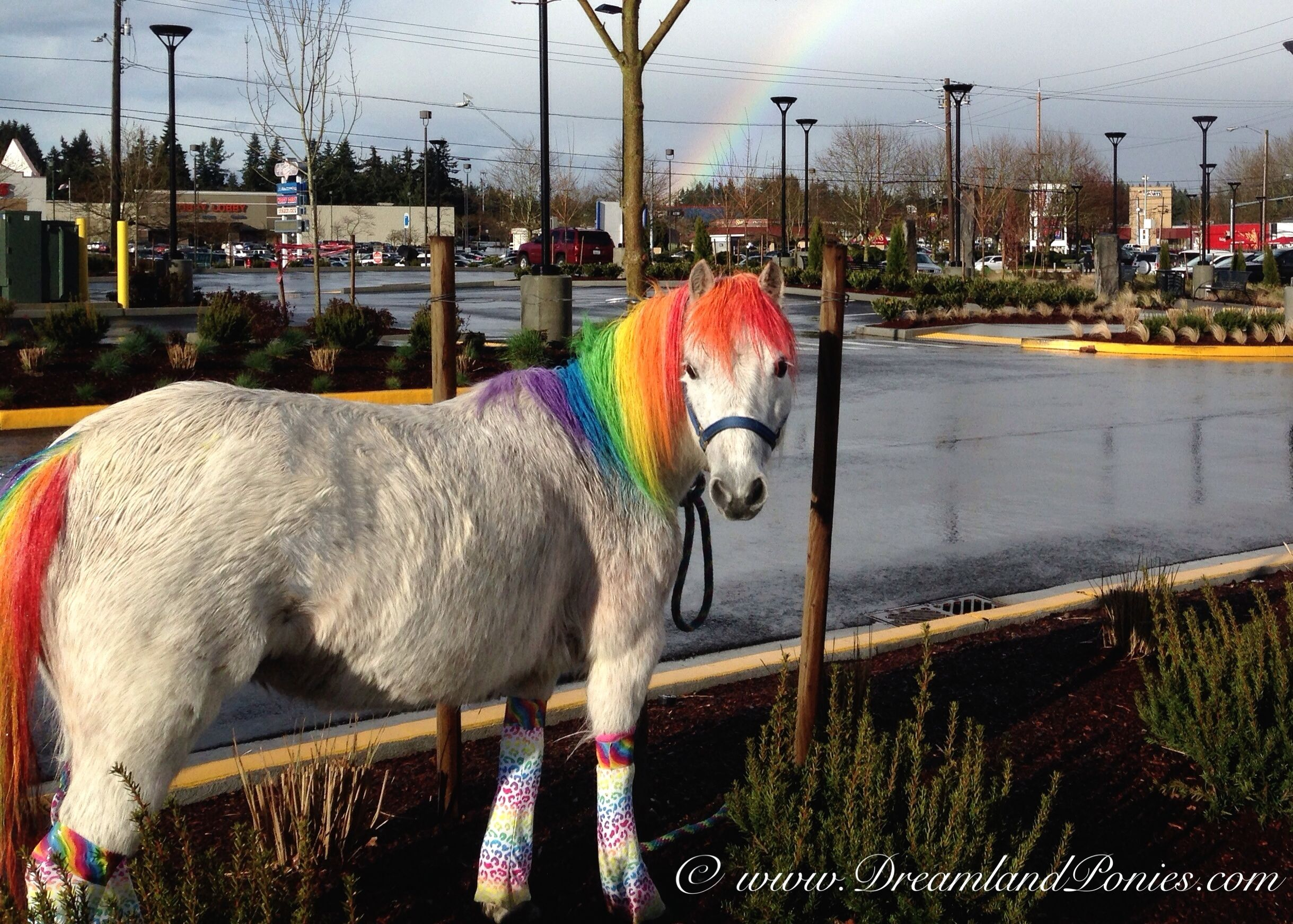 Real Life Rainbow Dash Pony Standing Under A Real Life Rainbow Compliments Of Dreamland Ponies