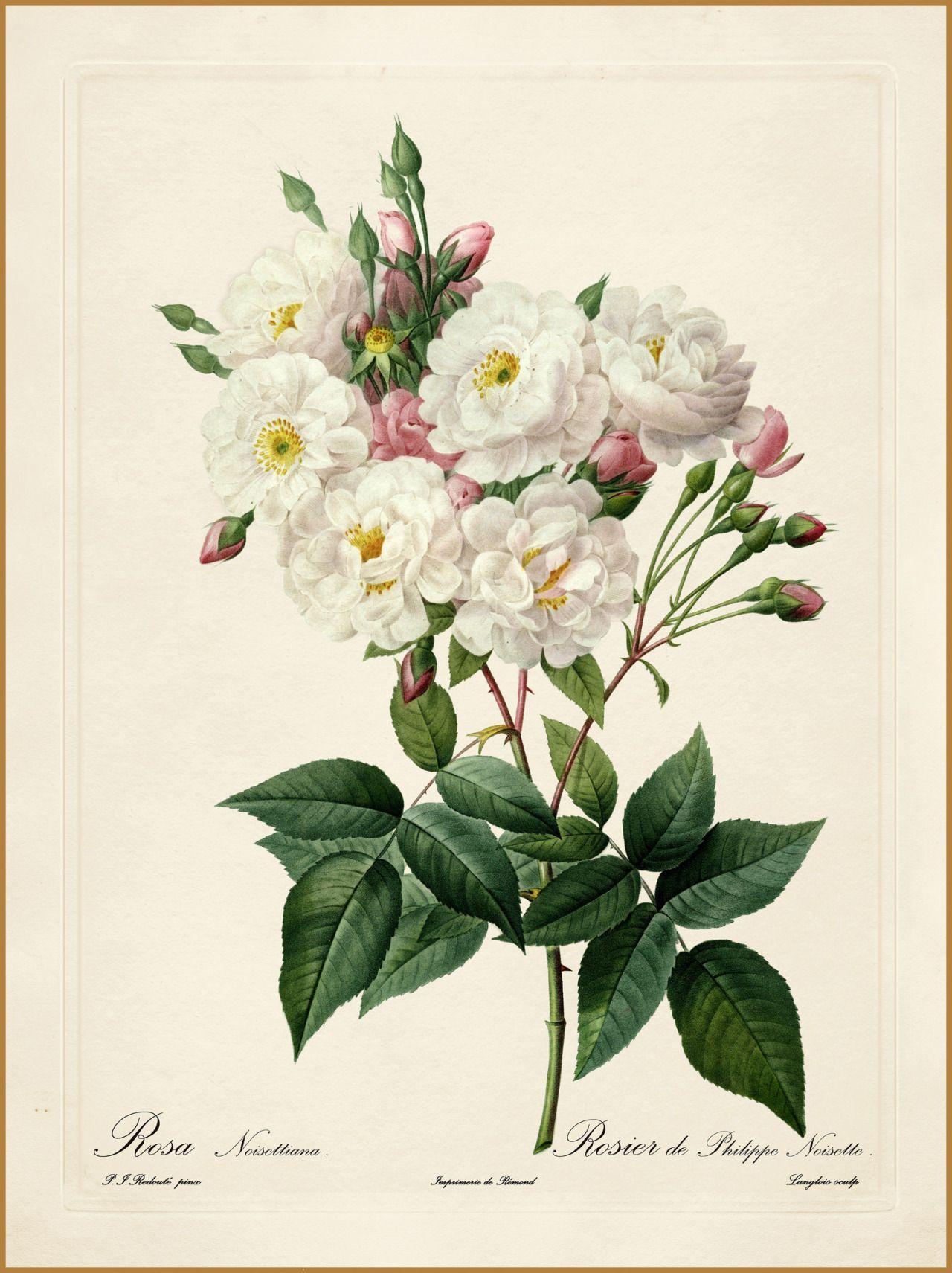 Pierre-Joseph Redouté - Les Roses - Rosa Noisettiana | posters ...