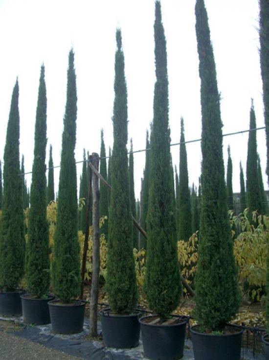 Cupressus sempervirens / Säulenzypresse 450500 cm im 130
