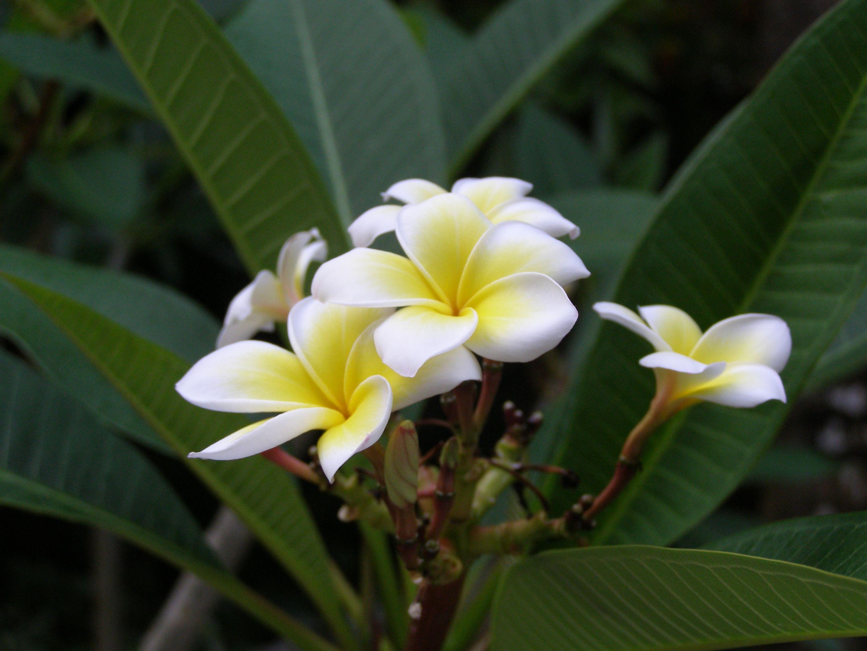 Frangipani-Blüten am Yalong-Strand, Insel Hainan. Den Frangipani-Baum (Plumeria) findet man in Asien häufig in Tempeln angepflanzt. Mit seinen weißen Blüten und dem zarten Duft steht er für Reinheit und Eleganz. Es gibt auch zahlreiche andere Farben der Blüten. Auf Hawai werden die wunderschönen Blütenkränze daraus geflochten. In Pakistan schmücken die Frangipani gerne Gräber.