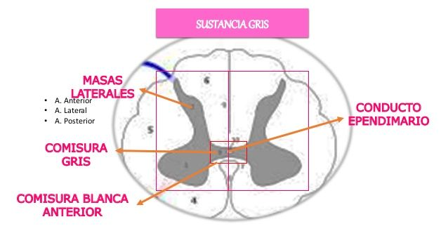 Resultado de imagen para comisura anterior medula espinal ...