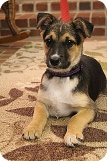 Bedminster Nj Jack Russell Terrier German Shepherd Dog Mix