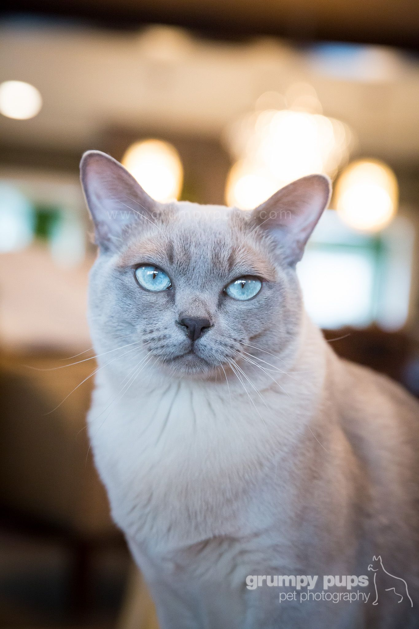 Tonkinese cat, photo by Grumpy Pups Pet Photography (With